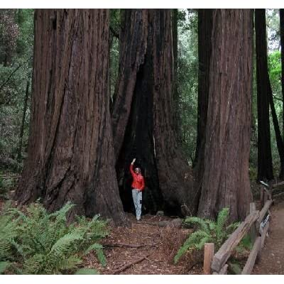 20 Coast Redwood Tree Seeds by Seeds and Things : Garden & Outdoor