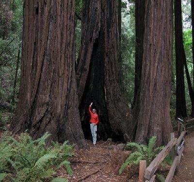 50-coast-redwood-tree-seeds-sequoia-sempervirens