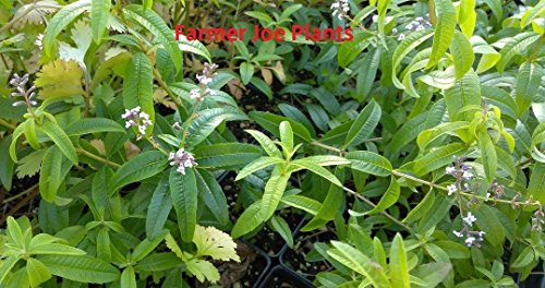 Lemon Verbena - HERB - Great for Cooking - 1 Live Plants - Mosquito - 3