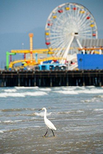 Egret Steping into the Sea Santa Monica Beach Pier Los Angeles Photo Art Print Poster - Heal Los The Bay Angeles