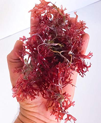 (AQUACULTURE NURSERY FARMS Hayi Gracilaria Red Bush Macro Algae Saltwater Plants 1 Bunch)