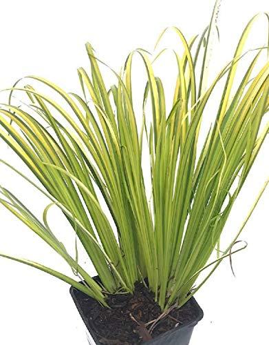 Golden Sweet Flag - Acorus Gram Ogon Fit 1 Gallon Pot Grasses Live Plants Garden - Sweet Flag Golden