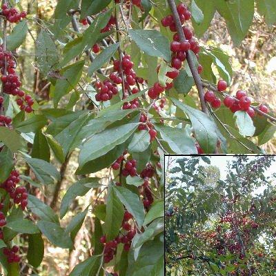 (Autumn Olive Eleagnus umbellata Japanese silverberry 50 seeds)