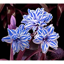 2 PCS Amaryllis bulbs True Hippeastrum bulbs flowers (Not seeds) Barbados Lily potted home garden Balcony plant Bulbous 08