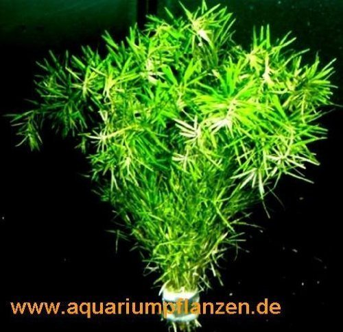 1 Bund Bacopa myriophylloides, tausendblattähnlich tausendblattähnlich 266