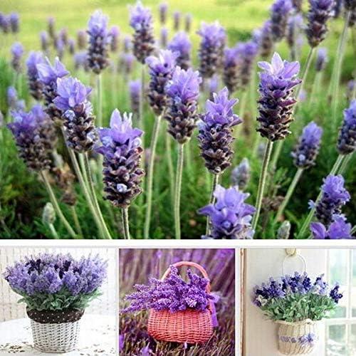 Blanco: 200 semillas de flores de lavanda Hermoso jardín Produce delicioso aroma natural Grandes hierbas Flores Mar Jardín Planta: Amazon.es: Jardín