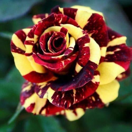 10 Red Yellow Rose Seeds Flower Bush Perennial Shrub Garden Home Exotic Garden ()