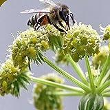 Everwilde Farms - 300 Lovage Herb Seeds - Gold Vault Jumbo Seed Packet