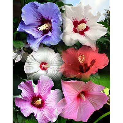 10+ Dinnerplate Hibiscus Perennial Flower Seed Mix/ Easy to Grow/ Huge 10-12 Inch Flowers : Flowering Plants : Garden & Outdoor