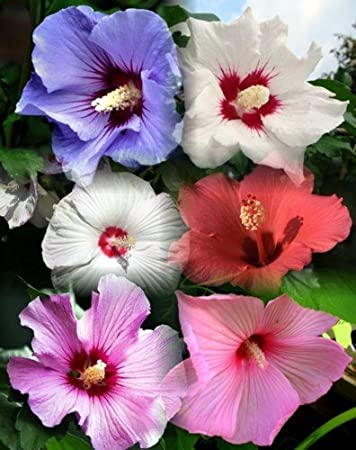 Amazon 10 dinnerplate hibiscus perennial flower seed mix 10 dinnerplate hibiscus perennial flower seed mix easy to grow huge 10 mightylinksfo