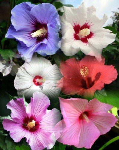 Amazon.com : 10+ Dinnerplate Hibiscus Perennial Flower Seed Mix ...