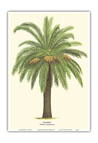 Pacifica Island Art Canary Island Date Palm Tree - Palmier (Phoenix Canariensis) - Vintage Botanical Illustration by Ferry c.1770s - Hawaiian Master Art Print - 13 x (Vintage Ferry)