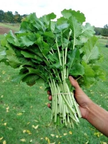 (600+SEVEN TOP TURNIP GREENS Organic Non-GMO Seeds Spring/Fall Garden/Containers)