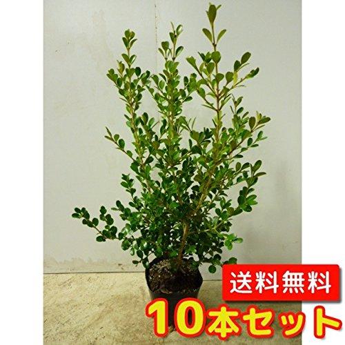 【ノーブランド品】ボックスウッド樹高0.5m前後15cmポット【10本セット】 B00W4VXZKA