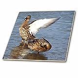 3dRose ct_50379_1 Female Malard Ducks Bath Time Ceramic Tile, 4-Inch