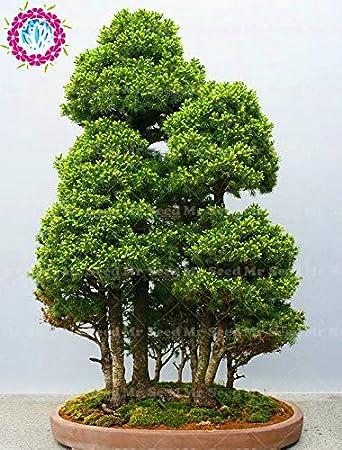 Shopmeeko 50 Sta Cke Seltene Bonsai Fichte Anlage Picea Baum Hof A
