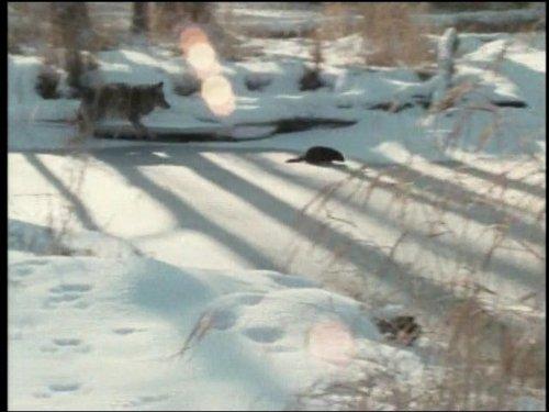 (Minnesota Mink)