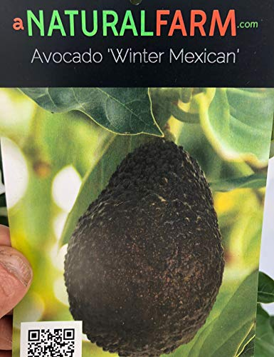Cold Hardy Dwarf Grafted Avocado Tree 3 to 4 feet Tall (Wurtz & Winter Mexican) in 3 Gallon Pot - Produce Your own Avocados - Including Organic Fertilizer & Planting Instructions (Winter Mexican)