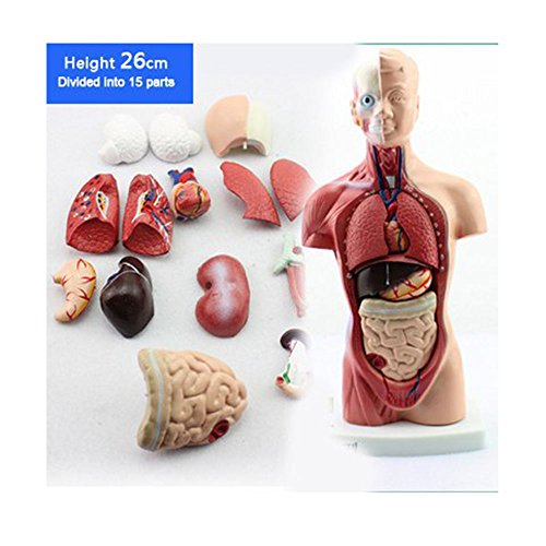 15 Parts Primary and Secondary School Education of 26cm Torso Model Human Anatomy Organ Structure (Human Anatomy Organs)
