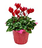 #1: KaBloom Live Plant Collection: 12'' Red Cyclamen Plant in a 6'' Red Covered Pot