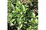 David's Garden Seeds Herb Basil Tulsi Holy OS71104A (Green) 500 Organic Seeds