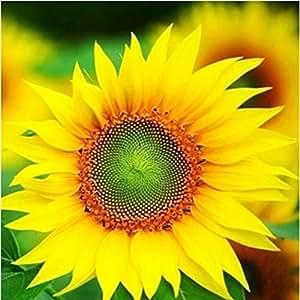 Las semillas de girasol 50pcs 9 tipos de Sun fortuna Bloom Garden Bonsai Plantas Jardín hermosas flores fáciles de cultivar envío gratuito