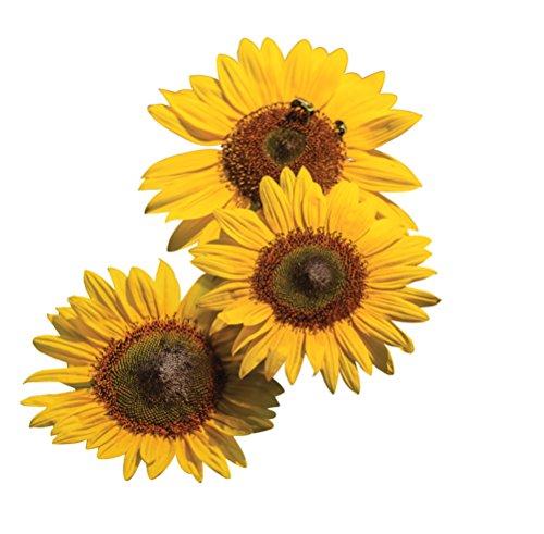 (Burpee Treasure Mountain Sunflower Seeds 20 seeds )