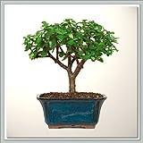 Joebonsai Bonsai Tree Dwarf Jade - Nursery Direct (b-dj0)