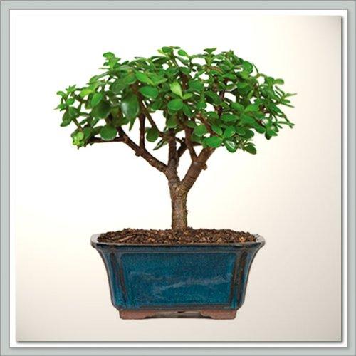 Bonsai Tree Dwarf Jade - Nursery Direct from Joebonsai