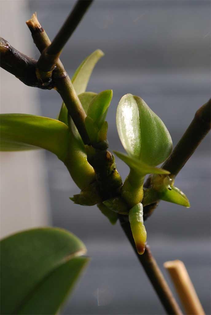 Pasta que induce el crecimiento de keikis o brotes de orquídea Phalaenopsis Dendrobium CF: Amazon.es: Hogar