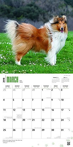 Collies 2018 Monthly Square Wall Calendar Photo #2