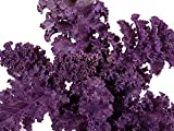 100+ ORGANICALLY Grown Scarlet Kale Seeds Herb Heirloom Non-GMO Violet Red Rare Tender. from USA