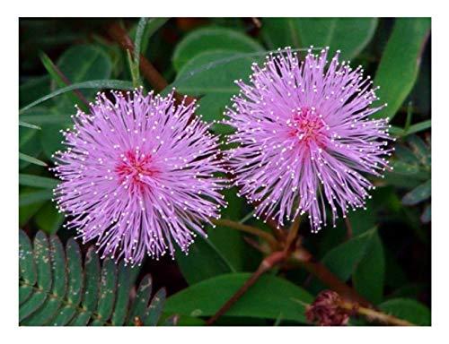 MIMOSA PUDICA - SENSITIVE PLANT - 1 5 GRAM ~ APPROX 300