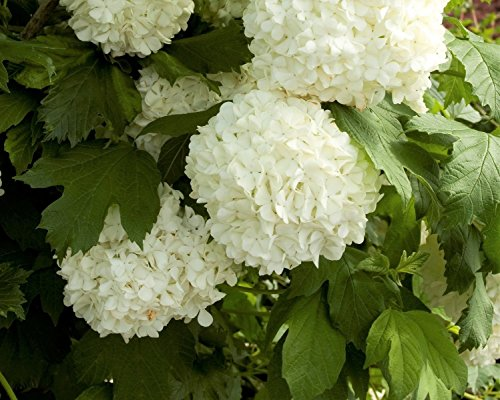Eastern Snowball Bush (Viburnum) - Live Plant - Trade Gallon Pot by New Life Nursery & Garden