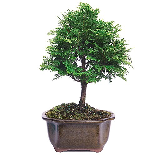 Brussel's Live Hinoki Cypress Outdoor Bonsai Tree - 3 Years Old; 6