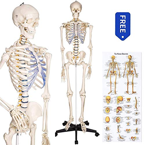 RONTEN Human Skeleton Model, Anatomical Skeleton lifesize 70.8 in, Including Booth + Cover + Poster -