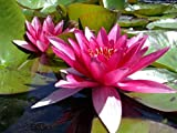 Live Aquatic Plant Nymphaea Marliacea Flammea RED Color HARDY Water Lily TUBER for Aquarium Freshwater Fish Pond BUY 2 GET 1 FREE by JustNature