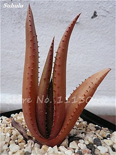 Rare Color Aloe Seeds 100 Pcs Succulent Cactus Plants, edible, medicinaland Beauty cosmetic bonsai plants for home and garden by WANCHEN