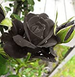 Black of Night Rose Seeds Bush Flower Seeds - Treasuresbylee Exclusive
