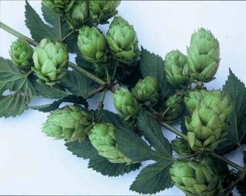 Phoenix HOP Seed Bulk 100 Seeds Spicy Flavored Cash Crop Beer (Heirloom Garden Store) (Best Beer Store Phoenix)