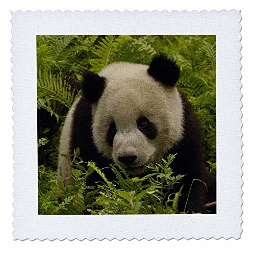 3dRose qs_70218_4 Giant Panda Bears, Wolong China Conservation, China-AS07 POX0658-Pete Oxford-Quilt Square, 12 by -