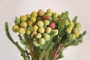 Exotic Plants Berzelia galpinii - Berzelia - 25 seeds