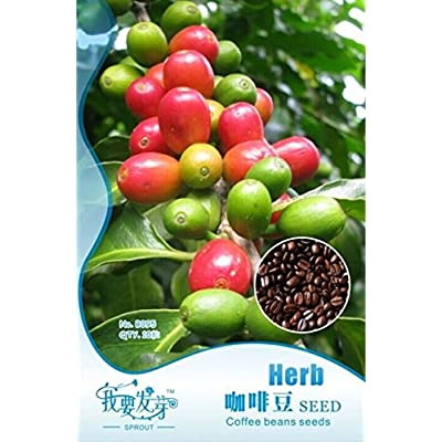 Hot Sale!!! 10 Original Packs, 10 seeds /pack, Coffee Bean Seeds, ARABICA COFFEE Plant (Coffea Catura Arabica) SEEDS : Garden & Outdoor