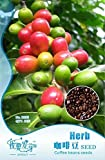 Hot Sale!!! 10 Original Packs, 10 seeds /pack, Coffee Bean Seeds, ARABICA COFFEE Plant (Coffea Catura Arabica) SEEDS