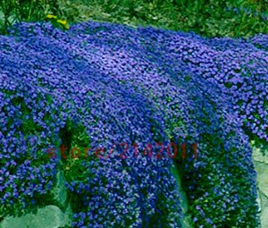 Amazon 100pcsbag creeping thyme seeds or blue rock cress 100pcsbag creeping thyme seeds or blue rock cress seeds perennial ground cover flower mightylinksfo
