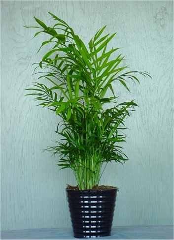 Bamboo Palm Tree 20+seeds ()