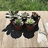 SucCuteLents 5 Pack - Real Live Unique Succulent Plants Fully Rooted in Soil with Planter Pots - Premium Potted House Plant Succulents Cactus Decor (Indoor)