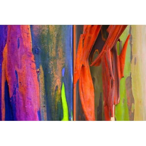 50+ RAINBOW EUCALYPTUS (Eucalyptus Deglupta) Tree Seeds Free Shipping