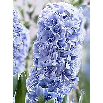 Hyacinthus orientalis, Blue Tango Dutch Hyacinth Bulbs - Size 16/17 (5 Bulbs) : Garden & Outdoor
