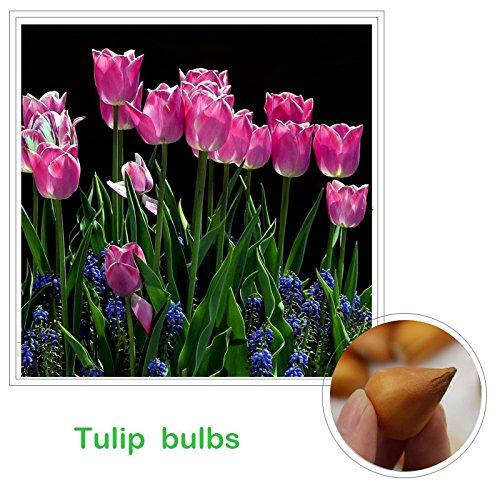 tulip bulbs pink - 5